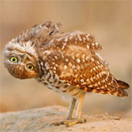 Owl looking confused with head upside down